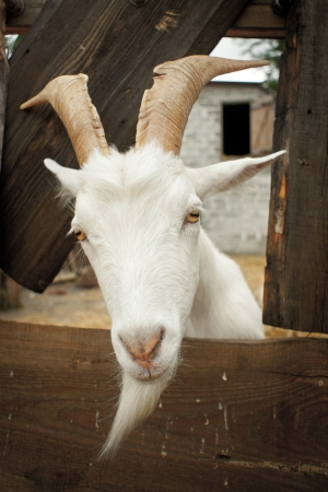 smiling goat: Portrait of a funny goat looking to  camera