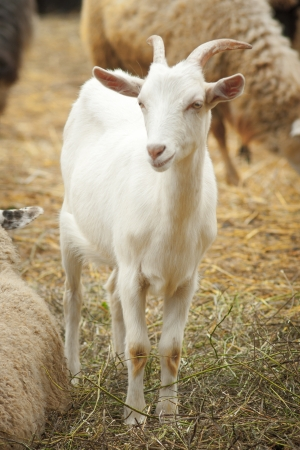 Portrait of a funny goat looking to  camera