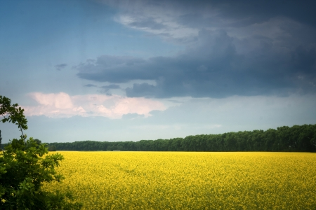 rapaseed: field of rapeseed with  cloud - plant for green energy Stock Photo