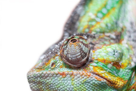 sitting chameleon on white background photo