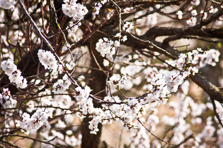 white spring blossoms in sunny day Stock Photo