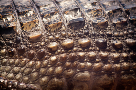 Crocodile skin texture in macro
