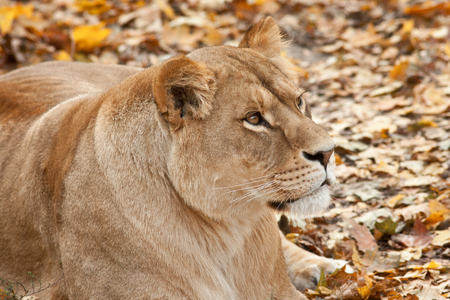 Portrait of resting lioness