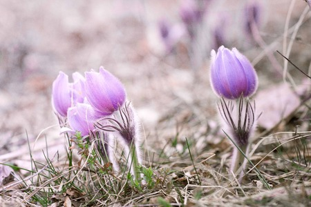 beautiful flower Pulsatilla patens.