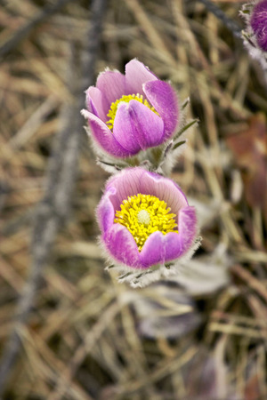 two beautiful flower Pulsatilla patens