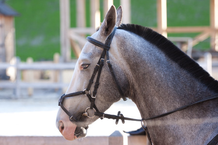 young beautiful grey  horse utdoor with reins