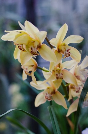 Full bloom of yellow orchid flower Stock Photo