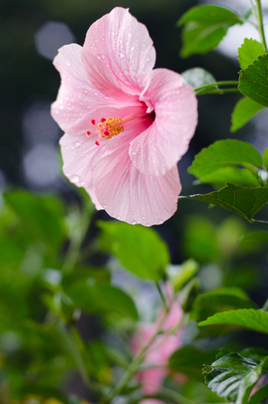 Awesome Pink Hibiscus flower closeup in park