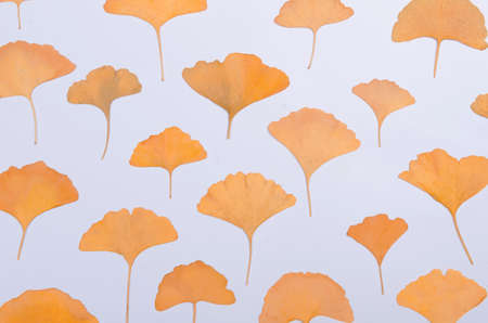 Ginkgo Biloba leaves herbarium on white background Standard-Bild