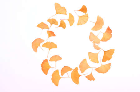 Ginkgo Biloba leaves round herbarium on white background Standard-Bild