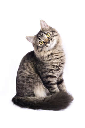 Little striped grey cat isolated on white