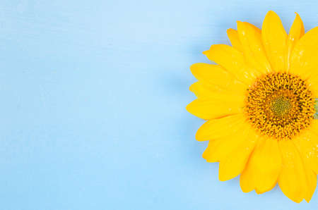 Yellow sunflower macro shot on blue background Standard-Bild