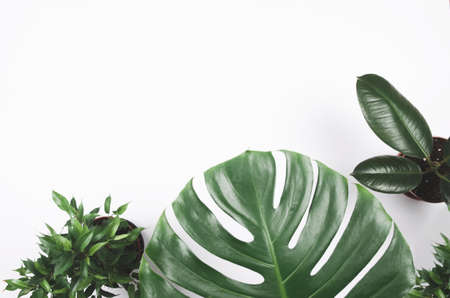 Exotic tropical plant frame with monstera and ficus on white background