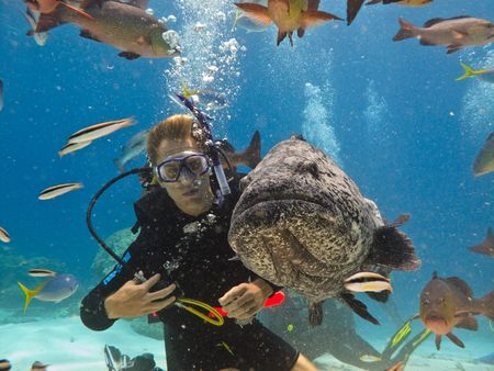Diver Feeding Giant Cod Great Barrier Reef Australia photo