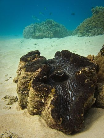 Giant Giant Clam Great Barrier Reef Australia Stock Photo