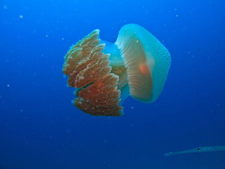 bioluminescent: Box jelly fish, Rhizostome cnidarians, Great Barrier Reef Australia Stock Photo
