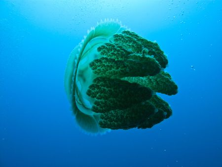brilliant   undersea: Jellyfish, Rhizostome cnidarians, at Great Barrier Reef Australia