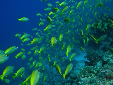 surgeon fish: Pez cirujano de Yelloetail en la gran barrera de coral de Australia