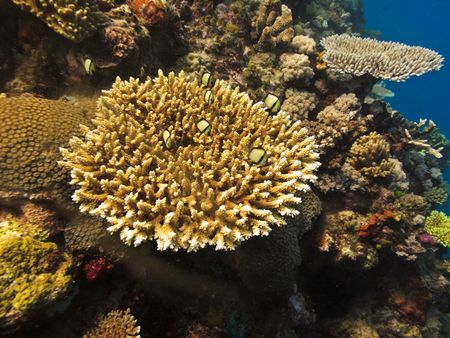 Coral Colony on the Great Barrier Reef Stock Photo - 5996557