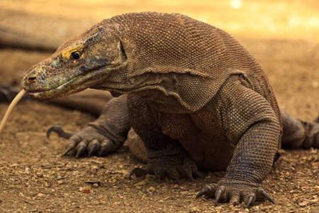 Closeup of Hissing, Tongue Out  Komodo Dragon  in Komodo National Park Indonesia photo