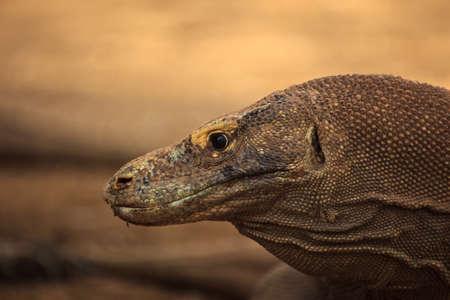 Closeup of Head of Komodo Dragon in Komodo National Park Indonesia photo