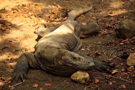 Komodo Dragon resting in Sun in Komodo National Park Indonesia photo