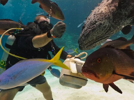 Great Barrier Reef, Australia - Oct 28: Scuba diver feeds a giant potato cod (Epinephelus tukula) and school of fish on the Great Barrier Reef. Oct 28, 2009  Australia Editorial