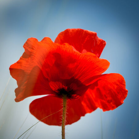 Poppy with blue sky as background - square format photo