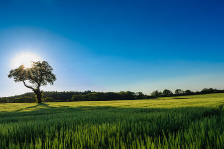 backlighting: Solitary tree standing in a field of rye with backlighting and a dark blue sky