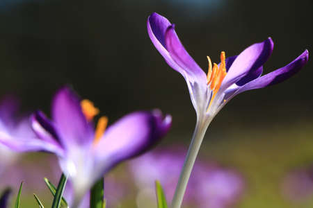 frhling: colorful crocus in spring representing rejuvenation of nature Stock Photo