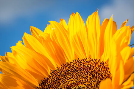 gelb: Close up of a sunflower with a dark blue sky Stock Photo