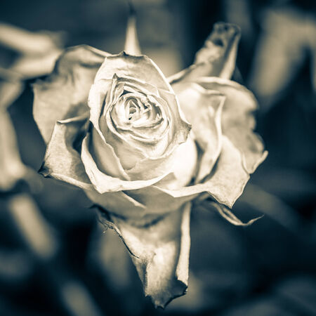 wilted rose with shallow depth of field photo