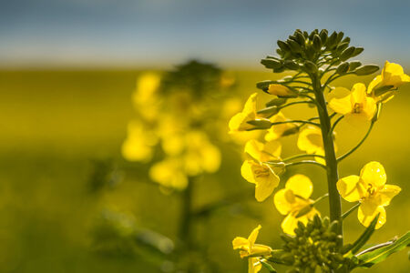 seed plant: field of rape seed with shallow depth of field and focus on a single rape seed plant Stock Photo