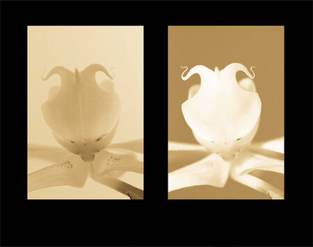 dualism: one orchid two lighting sets representing dualism and a different take on the same thing