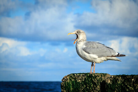 seabirds: seagull sitting on a pillar and screaming at the top of its lungs selective focus