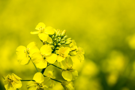 close up of a rape seed with selective focus photo