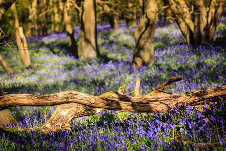 Dead tree and colorful bluebells with shallow depth of field photo