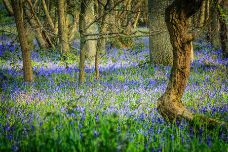 a carpet of bluebells in a forest photo