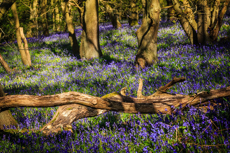 Dead tree and colorful bluebells in a forest photo