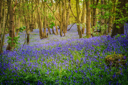 carpet made out of bluebells in a forest