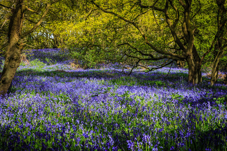 carpet made out of bluebells in a forest photo