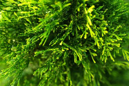 Young green leaves of thuja with shallow depth of field.