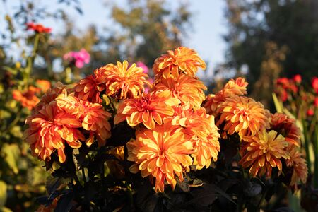 In the rays of sunlight, the dahlia blooms superbly. The flower is yellow red.