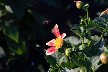 A bee in flight over an annual dahlia flower in the garden. Stock Photo
