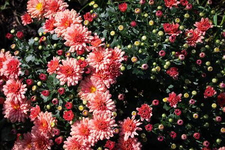Pink bush of chrysanthemum. Half the flowers bloomed. The second half is in buds. Stock Photo