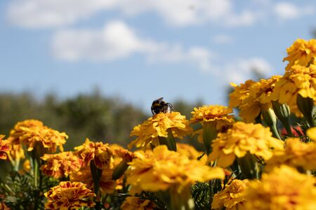 Bumblebee collects nectar from yellow flowers in the garden. In the background is a blue sky and greenery.