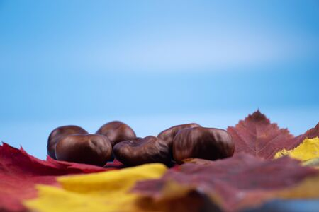 On a blue background, yellow, red, green autumn leaves and a bunch of chestnuts next to them.