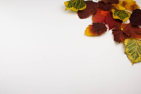 Red, yellow and green autumn leaves on a white background. View from above. Stock Photo