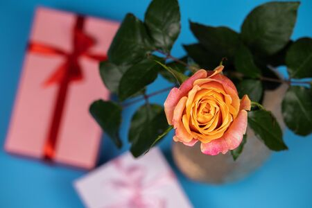 On a blue background in a vase is a tea rose. Near the vase, gift boxes tied with ribbon. Stock Photo