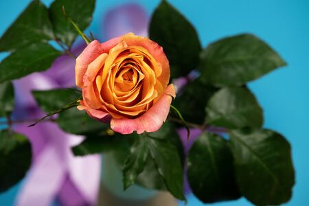 Beautiful bud of a tea rose with green leaves on a blue-violet background. Photo top view.